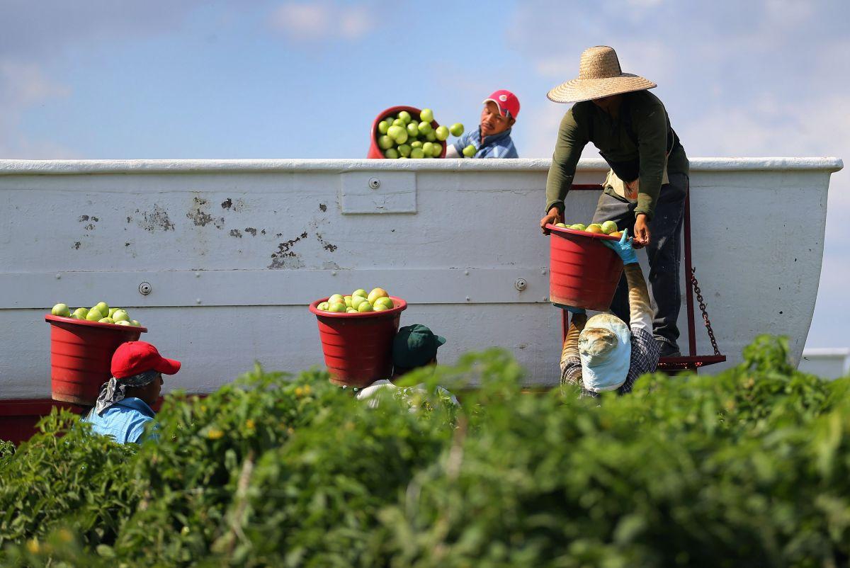 Granjas de tomate en Florida, epicentro de contagios de COVID-19