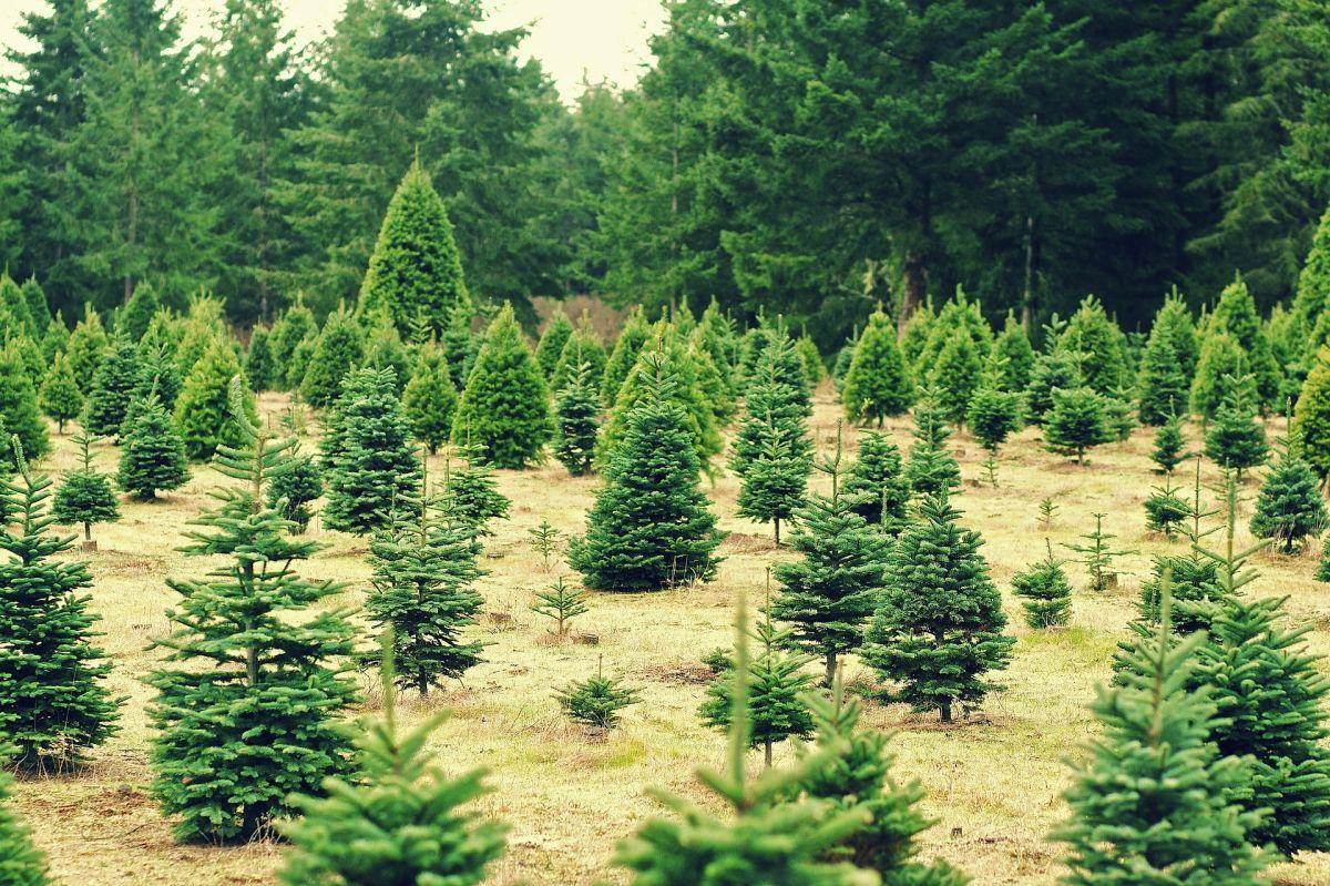 Cuánto podrías ganar como trabajador agrícola de árboles de Navidad